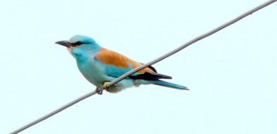 Kraska: egzotyczny ptak rolniczego krajobrazu Mazowsza-59360