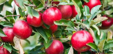 Światowy Dzień Jabłka - co drugie polskie jabłko pochodzi z Mazowsza-59895