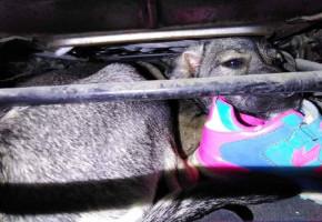 Policyjny pościg w Elżbietowie: pijany i z zaklinowanym psem na pokładzie-60085