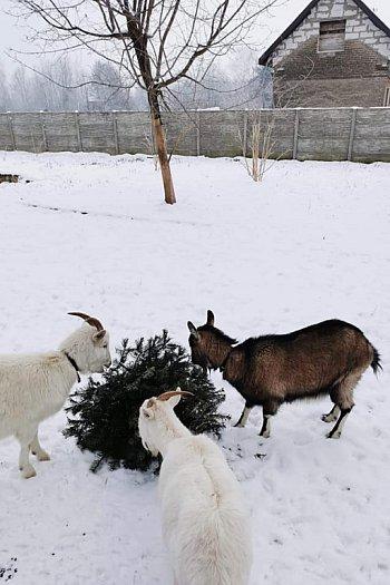 Akcja choinka dla kozy-9950